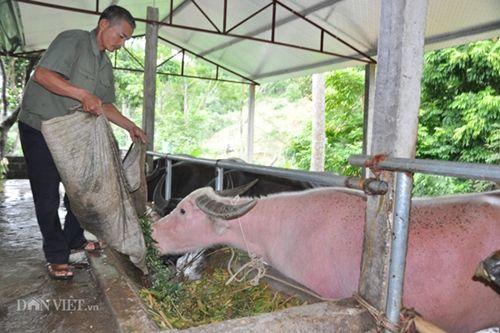 Cận cảnh giống trâu ngố khổng lồ nhất Việt Nam, đặc sản làm giàu của xứ Tuyên - Ảnh 4