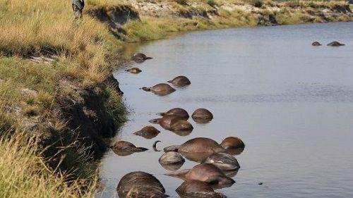 Hé lộ lý do khiến hơn 400 con trâu rừng chết đuối, nổi đen trên mặt sông - Ảnh 2