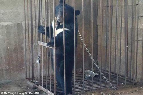 Ông chủ sửng sốt khi phát hiện chú cún nuôi trong nhà là con gấu đen quí hiếm - Ảnh 3