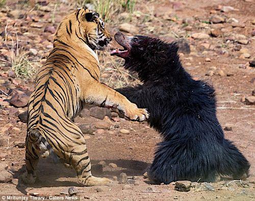 Màn chiến đấu nảy lửa giữa gấu đen và hổ Ấn Độ - Ảnh 1