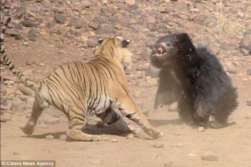 Màn chiến đấu nảy lửa giữa gấu đen và hổ Ấn Độ - Ảnh 2