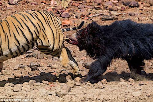 Màn chiến đấu nảy lửa giữa gấu đen và hổ Ấn Độ - Ảnh 3