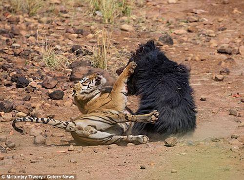 Màn chiến đấu nảy lửa giữa gấu đen và hổ Ấn Độ - Ảnh 4
