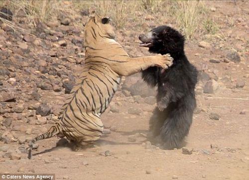 Màn chiến đấu nảy lửa giữa gấu đen và hổ Ấn Độ - Ảnh 5