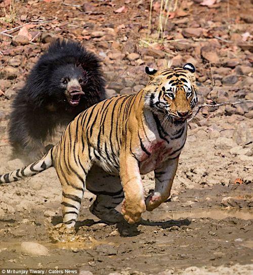 Màn chiến đấu nảy lửa giữa gấu đen và hổ Ấn Độ - Ảnh 6