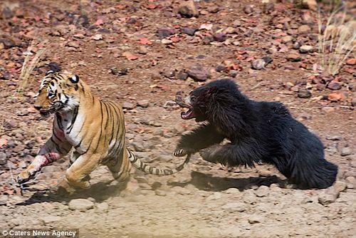 Màn chiến đấu nảy lửa giữa gấu đen và hổ Ấn Độ - Ảnh 7