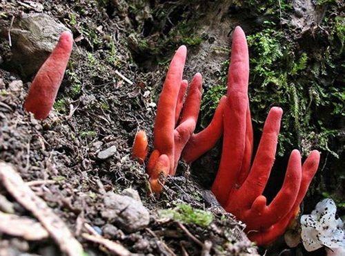 Những loại nấm mang tên kì lạ nhưng có điểm chung gây chết người nếu ăn lầm - Ảnh 4