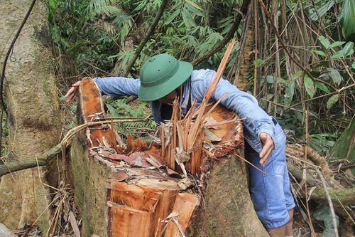 Quảng Nam: Truy nã hai nghi can phá rừng lim cổ thụ - Ảnh 2