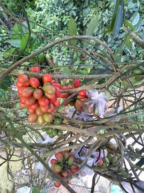 Quả máu, đặc sản trái cây rừng kì lạ của Quảng Ninh - Ảnh 4