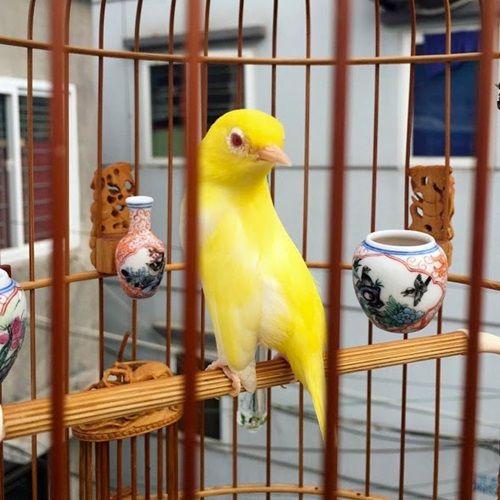 """Cận cảnh bộ sưu tập chim đột biến gien tiền tỷ quý hiếm của ông """"vua chim màu"""" - Ảnh 3"""