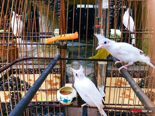 """Cận cảnh bộ sưu tập chim đột biến gien tiền tỷ quý hiếm của ông """"vua chim màu"""" - Ảnh 4"""