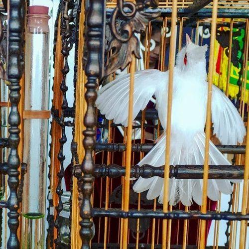 """Cận cảnh bộ sưu tập chim đột biến gien tiền tỷ quý hiếm của ông """"vua chim màu"""" - Ảnh 5"""