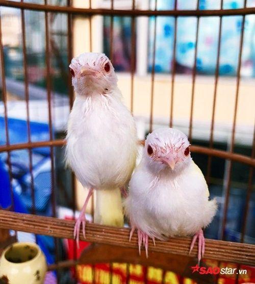 """Cận cảnh bộ sưu tập chim đột biến gien tiền tỷ quý hiếm của ông """"vua chim màu"""" - Ảnh 7"""