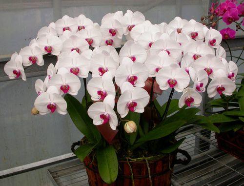 Những loài hoa đẹp và ý nghĩa không phải ai cũng biết trong ngày Tết - Ảnh 8