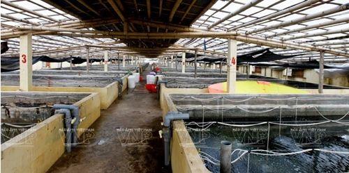 Nhiều hộ dân ở Nam Phú (Tiền Hải, Thái Bình )tích cực đầu từ trang trại với cơ sở vật chất đầy đủ đáp ứng nuôi trồng ngao giống. Ảnh: TTXVN