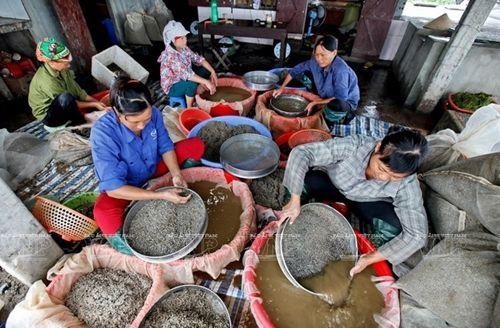Sau khi thu hoạch, người dân đãi cát, phân loại ngao giống phục vụ nuôi trồng thủy sản. Ảnh: TTXVN