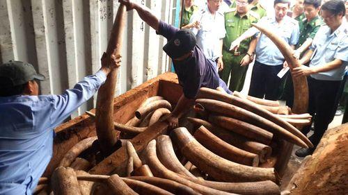 Phó Thủ tướng chỉ đạo xem xét khởi tố vụ vận chuyển trái phép ngà voi - Ảnh 1