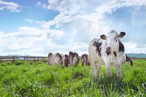 Vinamilk đạt chứng nhận trang trại bò sữa organic đầu tiên tại Việt Nam - Ảnh 1