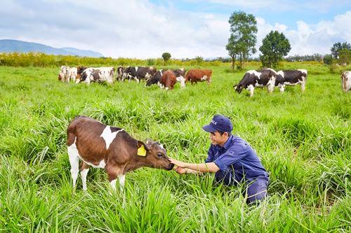 Vinamilk đạt chứng nhận trang trại bò sữa organic đầu tiên tại Việt Nam - Ảnh 3