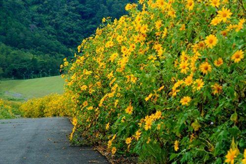 Sắp đến lễ hội hoa dã quỳ: Cùng ngắm cảnh tuyệt đẹp của những cung đường ngập hoa - Ảnh 4