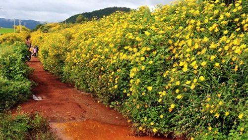 Sắp đến lễ hội hoa dã quỳ: Cùng ngắm cảnh tuyệt đẹp của những cung đường ngập hoa - Ảnh 7