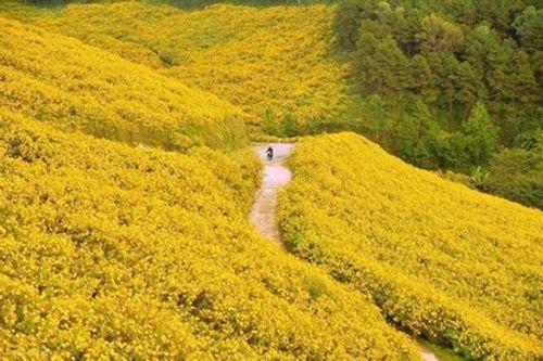 Sắp đến lễ hội hoa dã quỳ: Cùng ngắm cảnh tuyệt đẹp của những cung đường ngập hoa - Ảnh 2