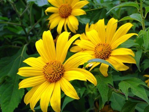 Sắp đến lễ hội hoa dã quỳ: Cùng ngắm cảnh tuyệt đẹp của những cung đường ngập hoa - Ảnh 8
