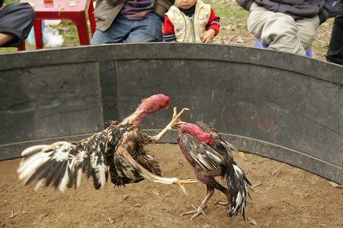 Bắt 20 đối tượng đá gà ăn tiền ở Nghệ An - Ảnh 1