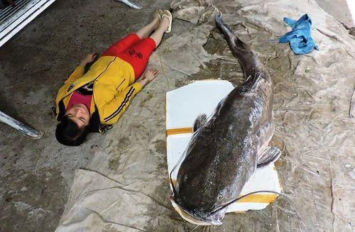 """Câu được cá lăng """"khủng"""" nặng 85 kg trên sông Sêrêpốk - Ảnh 1"""