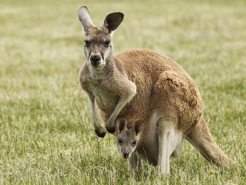 Australia khuyến khích người dân ăn thịt kangaroo - Ảnh 1