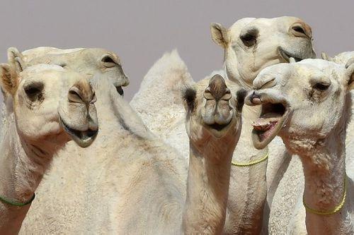 Lạc đà bị truất quyền tham gia cuộc thi nhan sắc do bơm botox - Ảnh 2