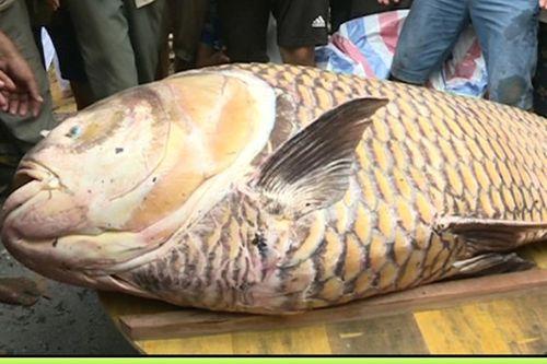 Cá hô nặng 125 kg, giá 300 triệu mắc lưới ngư dân miền Tây - Ảnh 1