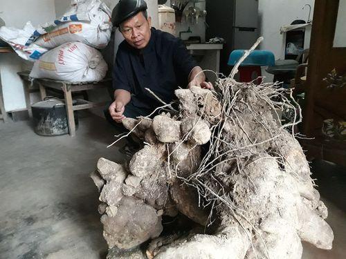"""Củ khoai """"khổng lồ"""" ở Nghệ An nặng 70 kg - Ảnh 1"""