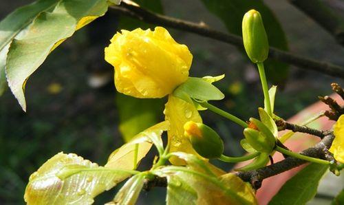 Hoa nở trước Tết vì thời tiết bất lợi, nhà vườn lo lỗ nặng - Ảnh 1
