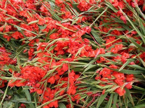 Hà Nội: Thương lái ngậm ngùi đổ cả nghìn bó hoa lay ơn chiều mùng 7 Tết - Ảnh 2