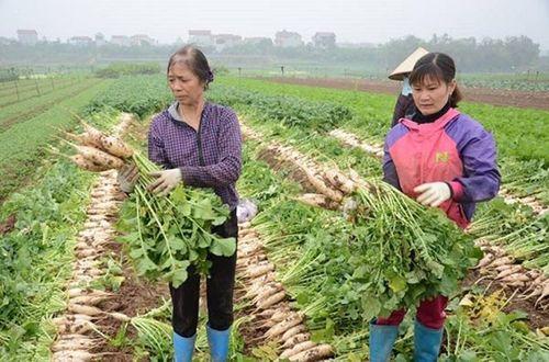 500 đồng/kg củ cải, nông dân Hà Nội xót lòng đổ hàng chục tấn xuống sông - Ảnh 1
