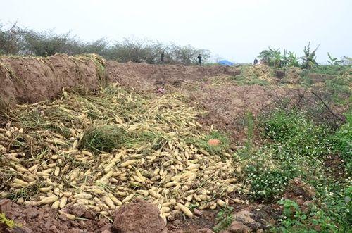 500 đồng/kg củ cải, nông dân Hà Nội xót lòng đổ hàng chục tấn xuống sông - Ảnh 2