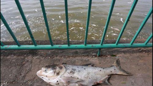 Cá chết trắng ở Hồ Tây, người dân hoang mang  - Ảnh 4