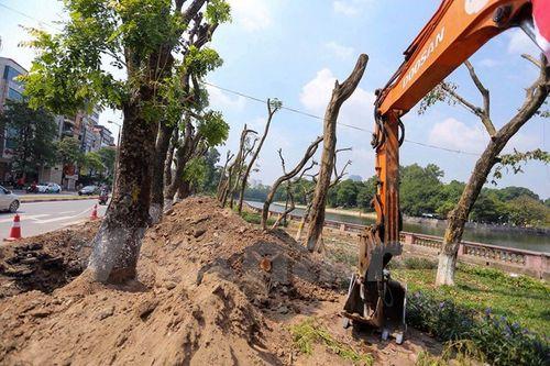 Hà Nội: Hàng cây cổ thụ phố Kim Mã được di dời khỏi nội đô - Ảnh 3