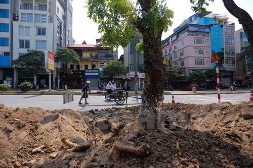 Hà Nội: Hàng cây cổ thụ phố Kim Mã được di dời khỏi nội đô - Ảnh 4