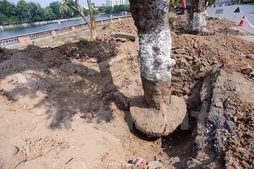 Hà Nội: Hàng cây cổ thụ phố Kim Mã được di dời khỏi nội đô - Ảnh 5
