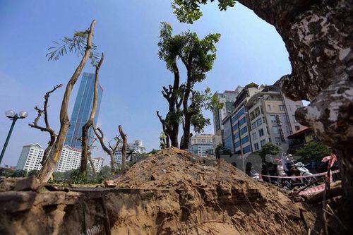 Hà Nội: Hàng cây cổ thụ phố Kim Mã được di dời khỏi nội đô - Ảnh 1