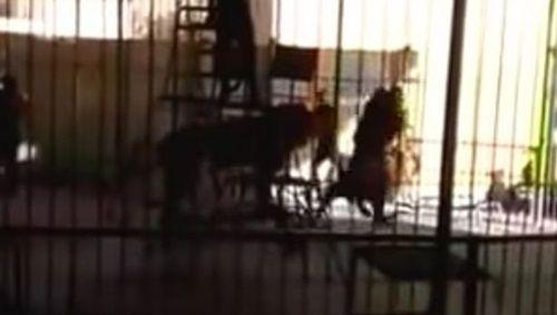 Sư tử bất ngờ tấn công người huấn luyện trong khi biểu diễn - Ảnh 2