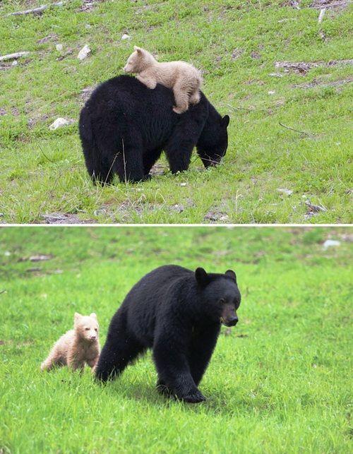 Học hỏi được gì từ cách dạy con của loài gấu - Ảnh 11