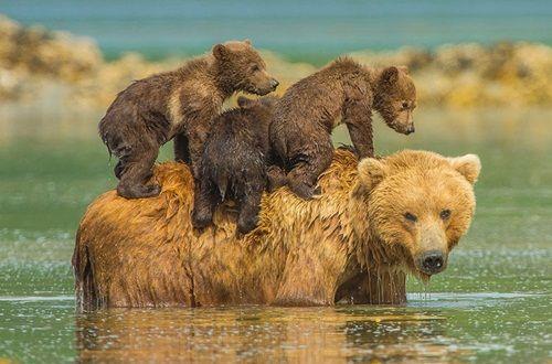 Học hỏi được gì từ cách dạy con của loài gấu - Ảnh 5
