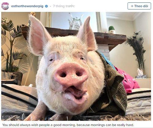 Kỳ lạ lợn 300kg ăn ngủ với chủ - Ảnh 2