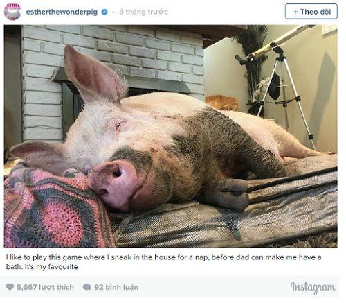 Kỳ lạ lợn 300kg ăn ngủ với chủ - Ảnh 3