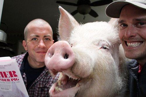 Kỳ lạ lợn 300kg ăn ngủ với chủ - Ảnh 1