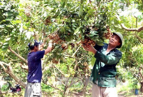 Nhãn muộn Khoái Châu mùa quả ngọt - Ảnh 1