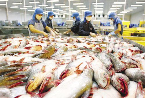 Giá cá tra tăng cao nhất kể từ đầu năm nhưng vẫn khan hàng - Ảnh 1